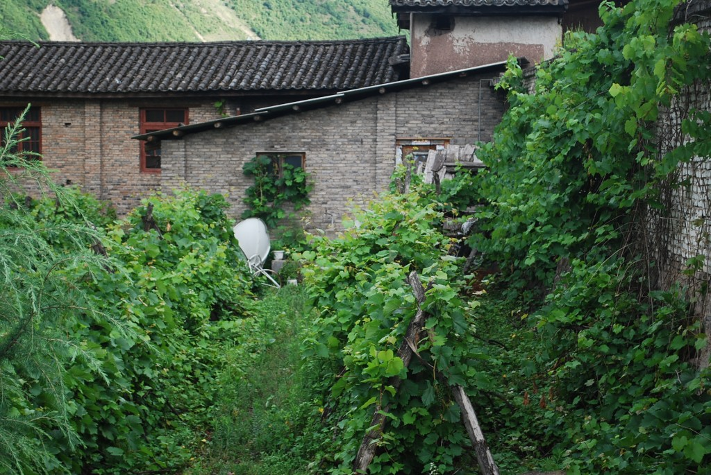 Original Rose Honey vines in the church yard at Cizhong in the  south of Yunnan's Tibetan region