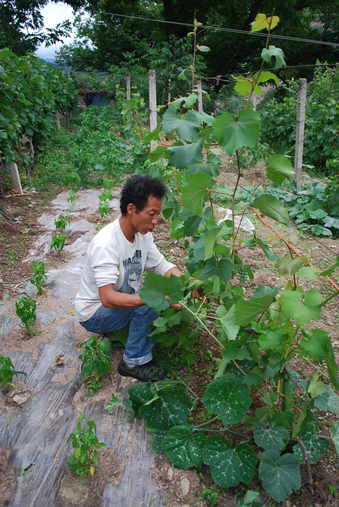 Cizhong villager tending his organic Rose Honey vines.  He makes and sells wine  himself rather than selling grapes to a company.