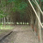 A rubber tree plantation in Thailand. Image used under Wikimedia Commons.