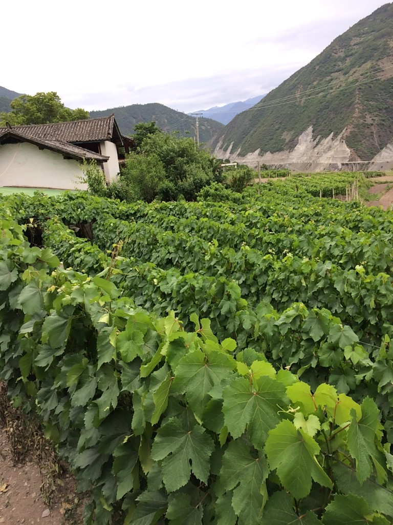 Spring grapes in Cizhong