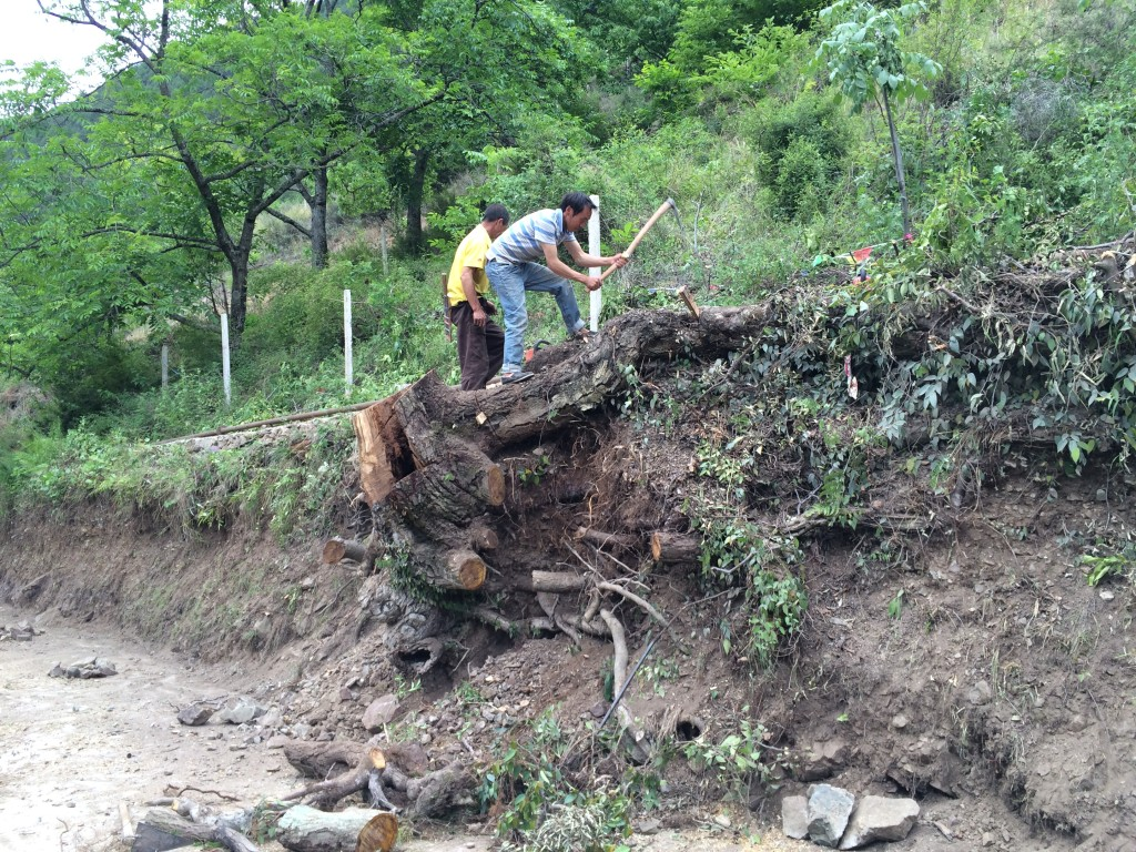 Road widening brings down scores of Cizhong's walnut trees.