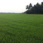 April rice paddies in Vietnam's Mekong Delta